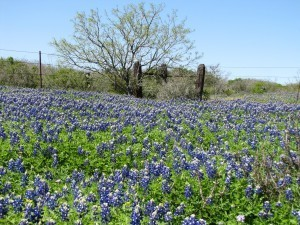 Texas Turkey Season - Bluebonnets