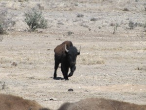 Bison Hunt - look at that bull!