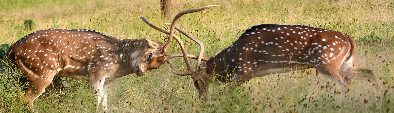 2 Axis bucks fighting