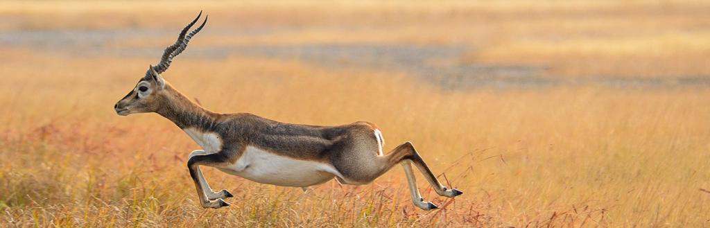 Blackbuck Antelope running through tall dry grass