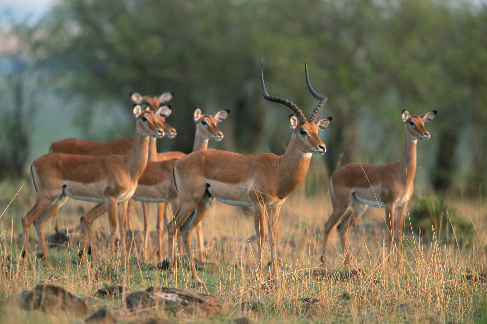 Herd of impalas (Aepyceros melampus) watching