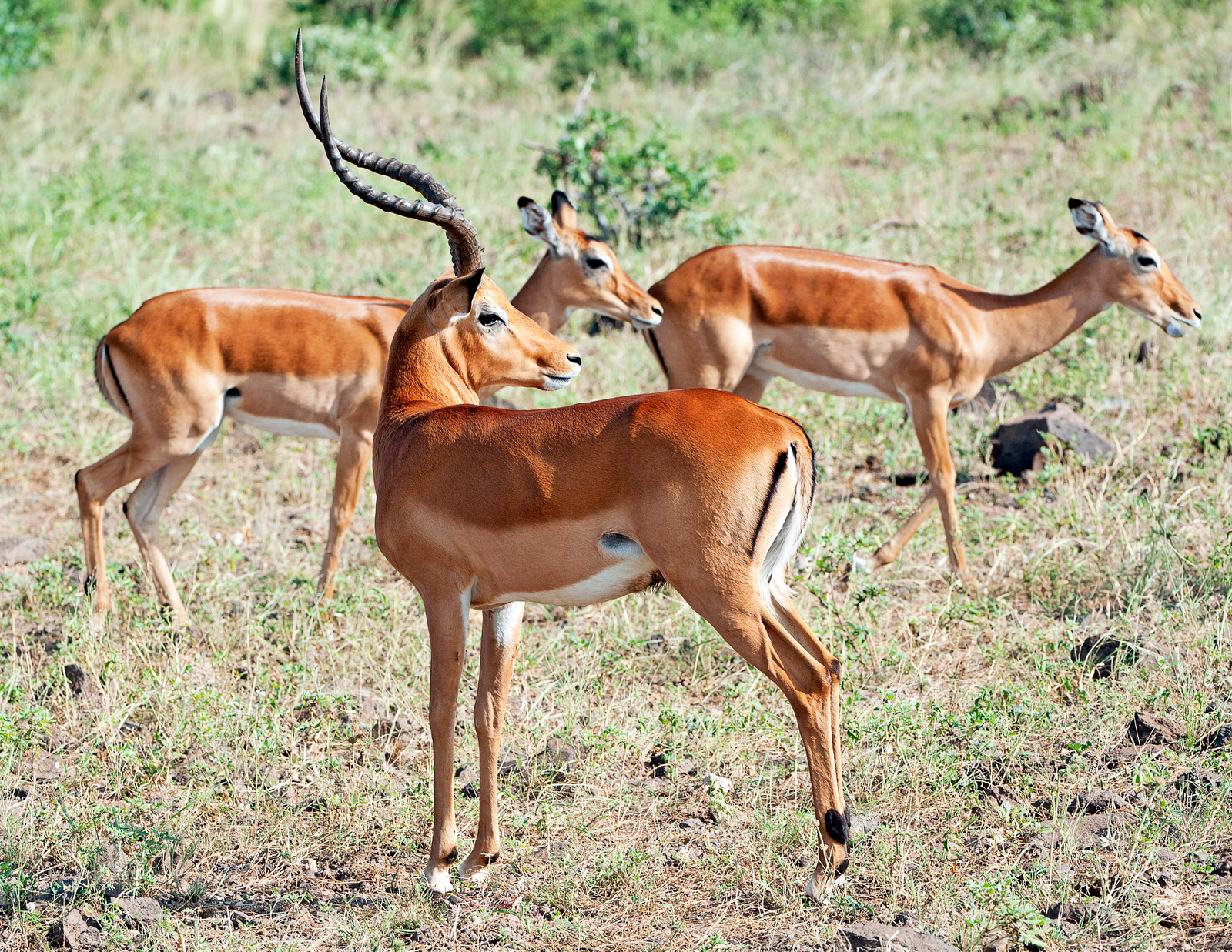 Impala antelope group of male and female animals grazing