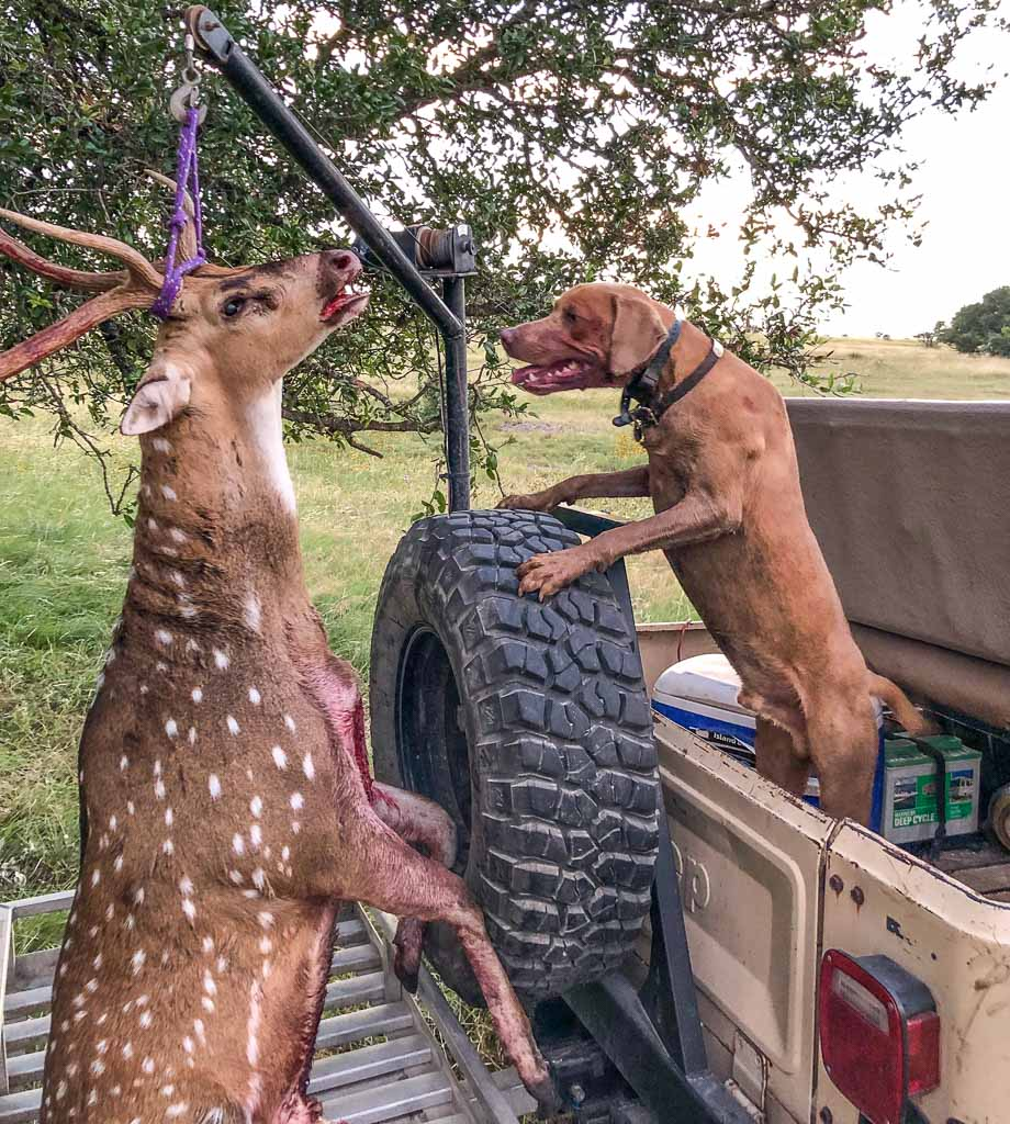 Deer Tracking dog in the back of a jeep looking at a dead axis deer
