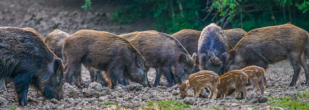 Herd of wild hogs rooting in the forest for food