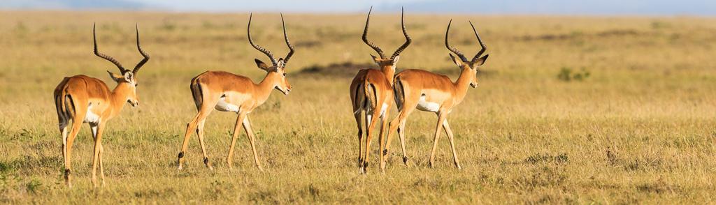 Impala antelope walking on grass field - Impala Hunting in Texas