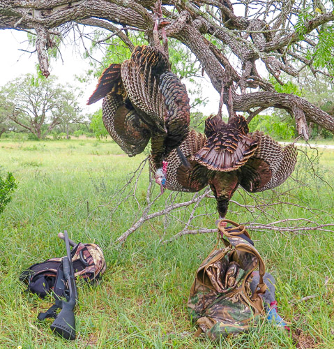 Two dead Texas Turkeys hanging in a tree with hunting equipment in the grass below