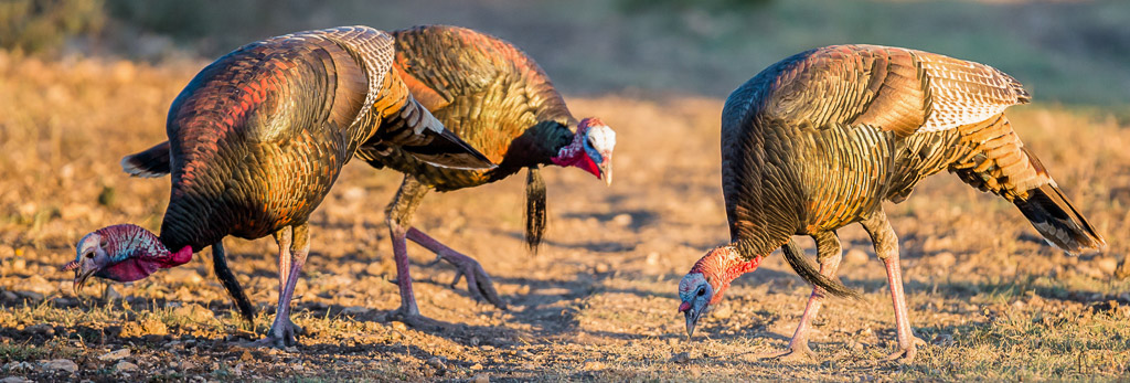 Three turkeys picking for food on a dirt road