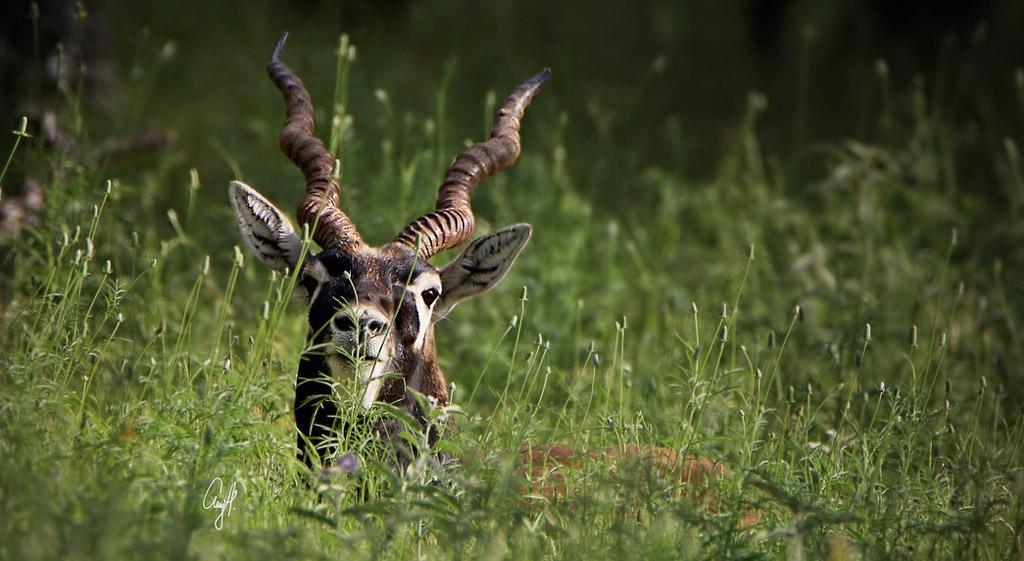 Blackbuck peeking through tall green grass - Blackbuck Hunting Texas