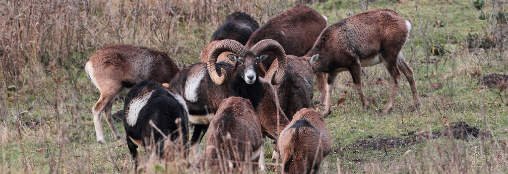 A male mouflon sheep stand whit group of female in a mountain reserve.
