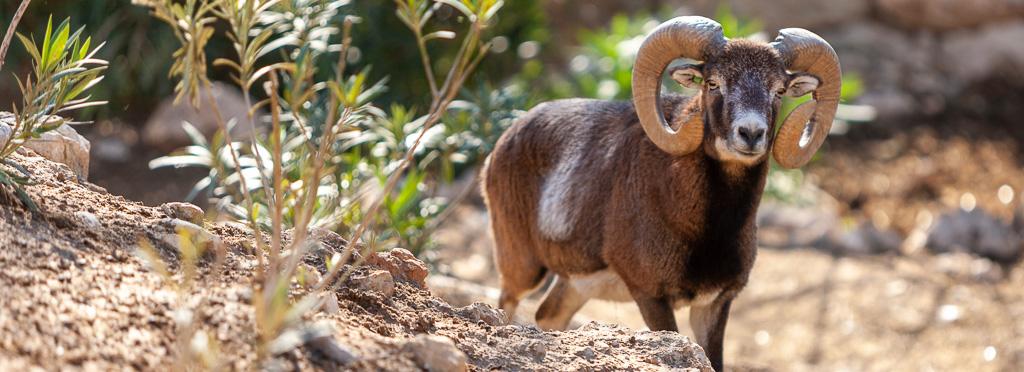 Mouflon Ram standing on a rocky ground