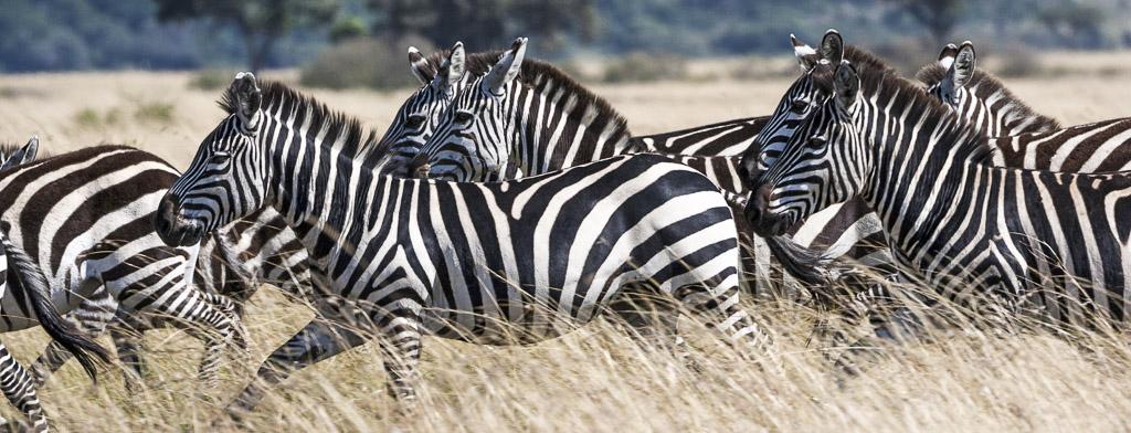 Grant's zebras running through dry grass - Zebra Hunting Texas
