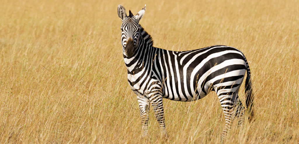 Grant's Zebra looking at camera, standing in dry grass meadow